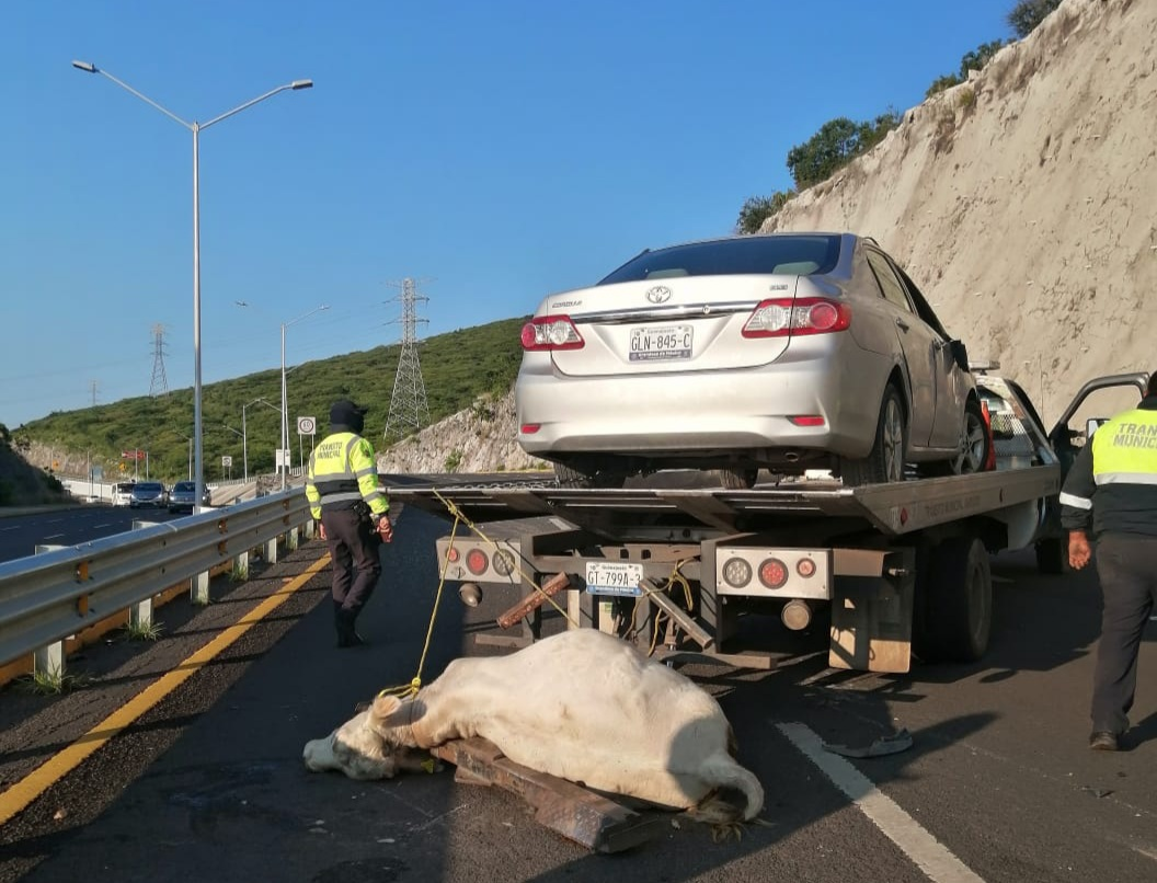 Vuelca automovilista al chocar contra una vaca en el 4to. Cinturón Vial 1
