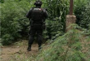 Asegura la SSPEG y FGR un sembradío con más de mil plantas de mariguana en Cuerámaro 3