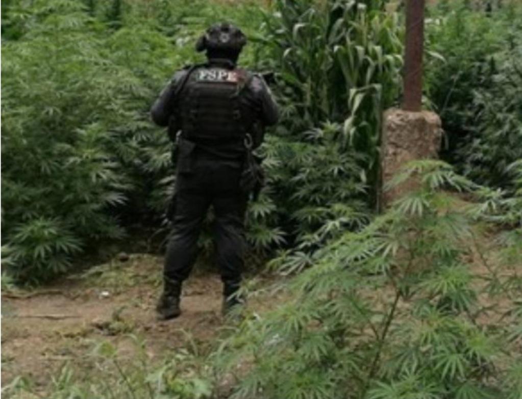 Asegura la SSPEG y FGR un sembradío con más de mil plantas de mariguana en Cuerámaro 1